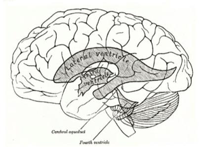 Ilustración del libro de texto médico Grey